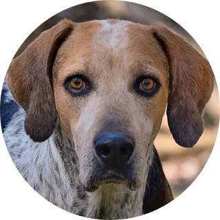 Bonzai - Retired Hound - Hound Welfare Fund