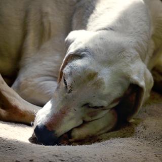 Griffin - Retired Hound - Hound Welfare Fund