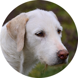 Parrish - Retired Hound - Hound Welfare Fund