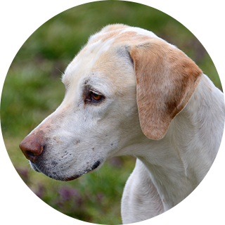 Payton - Retired Hound - Hound Welfare Fund