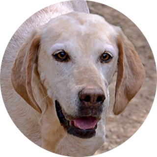 Star - Retired Hound - Hound Welfare Fund