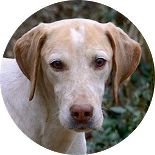 Sting - Retired Hound - Hound Welfare Fund