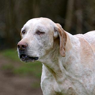 Stout - Retired Hound - Hound Welfare Fund
